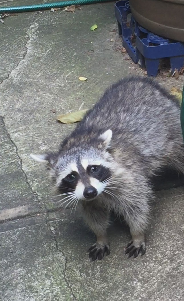 Raccoons Gentrify the Stuy